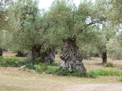 knorrige, alte Olivenbäume