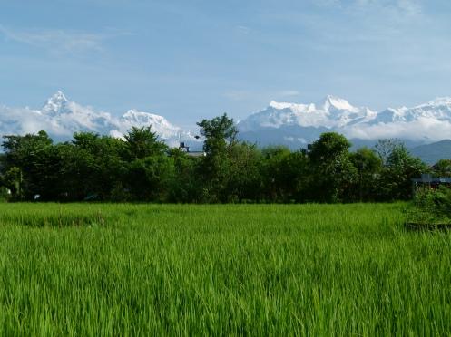 Am Reisfeld Grün können wir uns fast nicht sattsehen