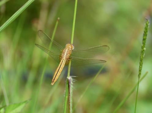 Dragonfly (Libelle) - eines meiner Lieblingsbilder