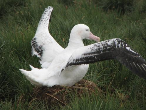 Albatross beim Brüten