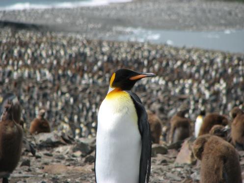 inmitten einer halben Million Pinguine
