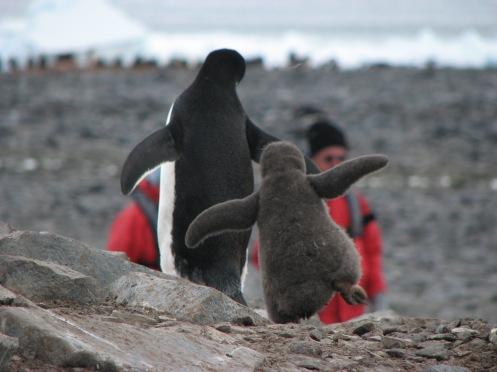 Tanz der Pinguine
