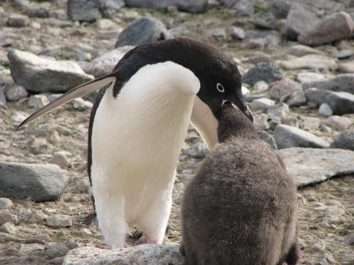 Adelie Pinguin bei der Fütterung